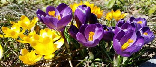 2015purpleyellowcrocuses.jpg